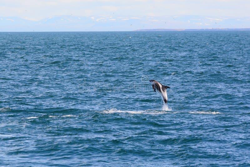 Дельфин клеванный белизной стоковые изображения rf