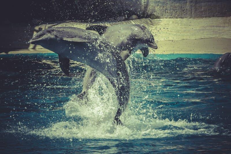 Дельфин скачет из воды в море стоковые изображения