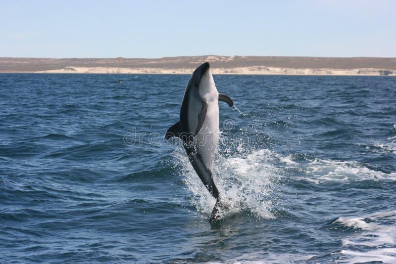 Дельфин Comersonстоковая фотография rf