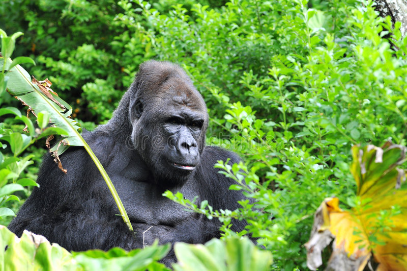 джунгли гориллы hidding стоковое фото rf