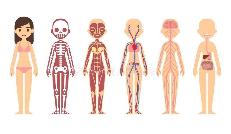 Диаграмма анатомии иллюстрация вектора