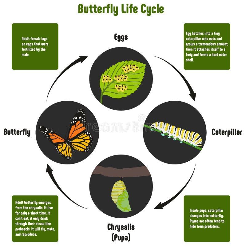Диаграмма жизненного цикла бабочки иллюстрация штока