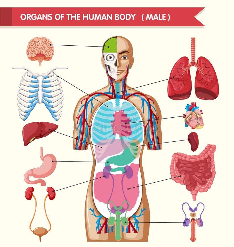 Диаграмма показывая органы человеческого тела иллюстрация штока