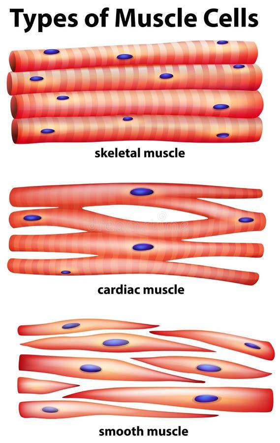 Диаграмма показывая типы мышечных клеток иллюстрация вектора
