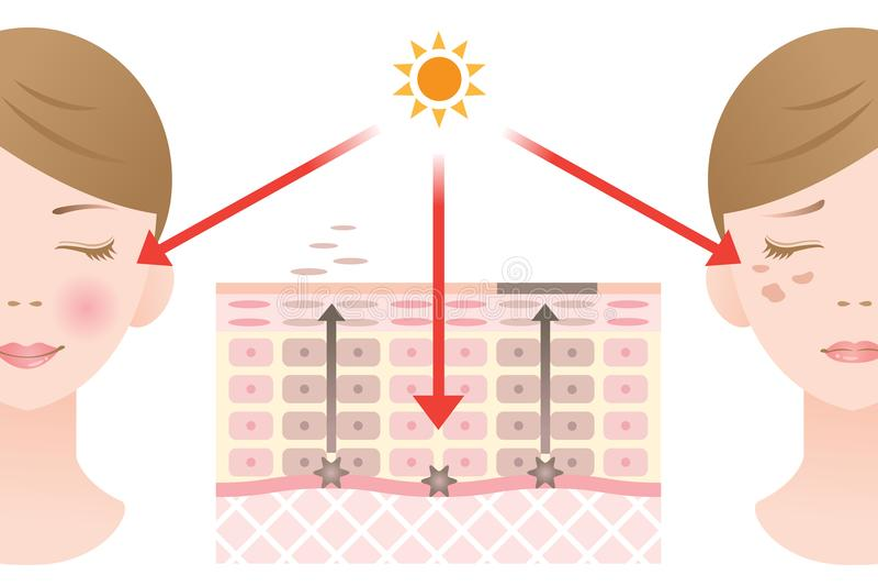 Диаграмма регулярн оборачиваемости клетки эпителия и медленной оборачиваемости клетки эпителия иллюстрация вектора