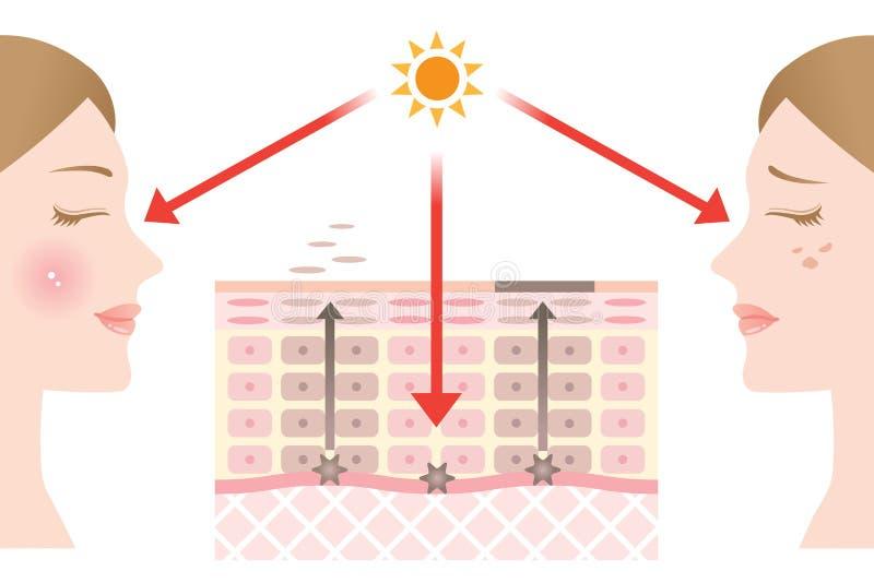 Диаграмма регулярн оборачиваемости клетки эпителия и медленной оборачиваемости клетки эпителия иллюстрация штока