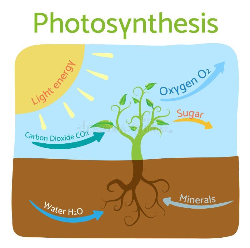 Диаграмма фотосинтеза Схематическая иллюстрация вектора фотосинтетического процесса бесплатная иллюстрация