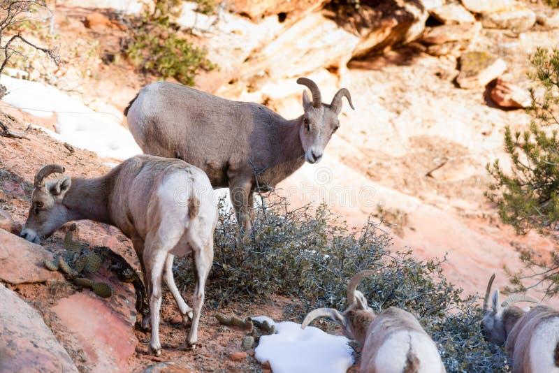 Диапазон козы горы дикого животного высокогорный ища лес еды высокий стоковые фото