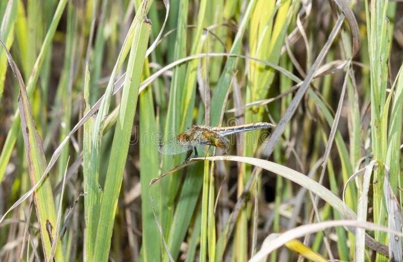 Диапазон-подогнали semicinctum Meadowhawk Sympetrum садилось на насест на ветви стоковое изображение