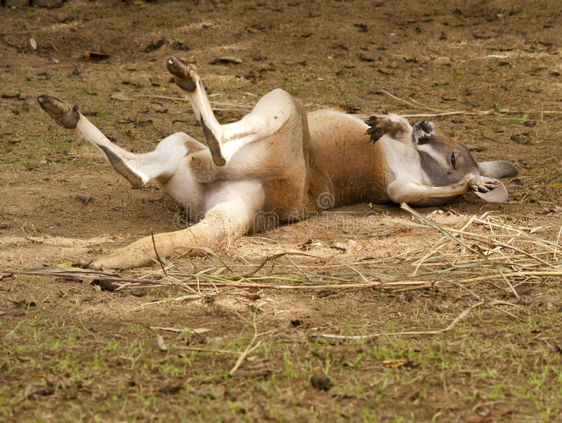 Дива кенгуру стоковые фото
