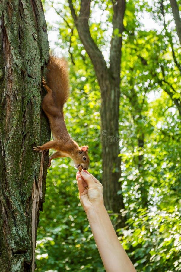 Дикая белка в лесе на дереве ест гайку от руки человека Питаясь дикие животные стоковое изображение rf