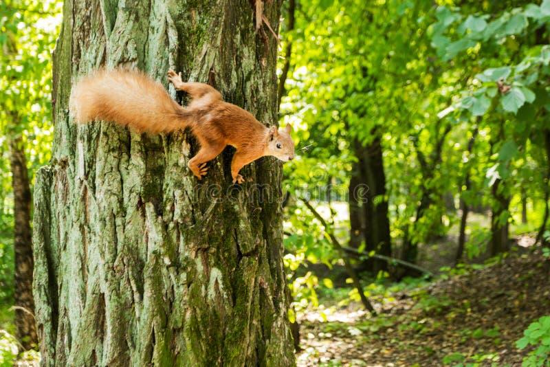 Дикая белка сидит на дереве в космосе леса для текста стоковая фотография rf