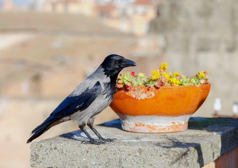 Дикая ворона города стоковое фото