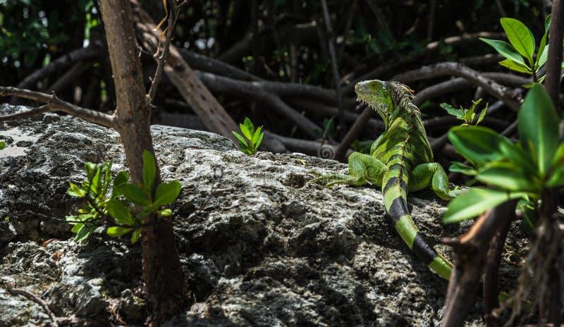 Дикая игуана в ключевом Largo Флориде стоковое изображение