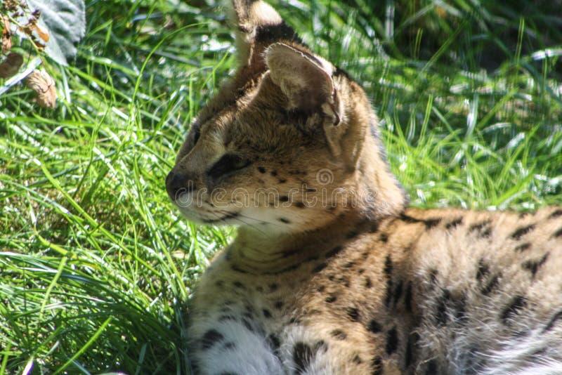 Дикая кошка в зоопарке живой природы стоковое фото rf