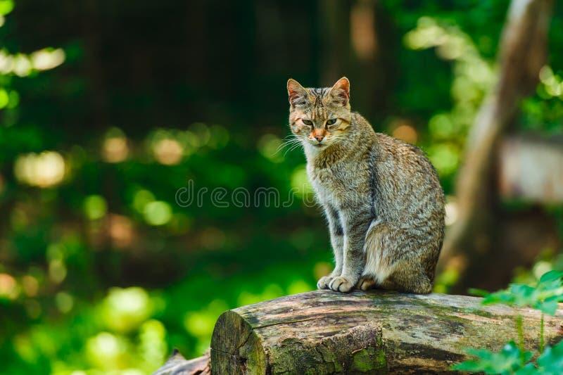 Дикая кошка сидя на стволе дерева стоковые изображения rf