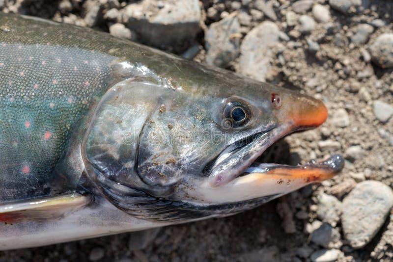 дикая лосось сальвелинус часто называют харр или шарр с розовыми пятнами над темным телом Вид на рыбу-сноут стоковая фотография rf