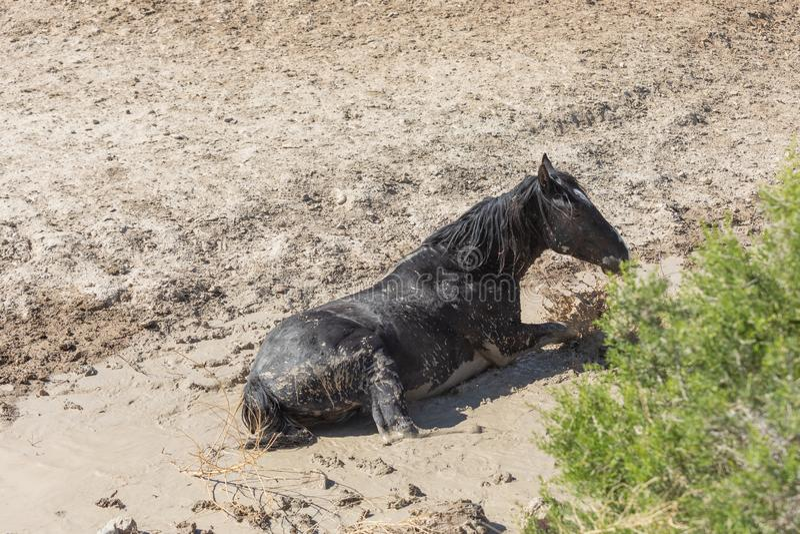 Дикая лошадь в тинном пруде стоковые изображения rf