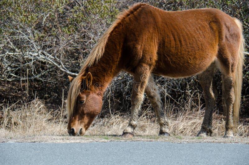 Дикая лошадь ест траву вдоль стороны дороги - Seashore острова Assateague национального стоковое изображение