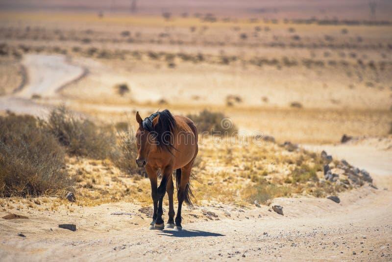 Дикая лошадь пустыни Namib идет на грязную улицу около Aus, южную Намибию стоковое фото rf