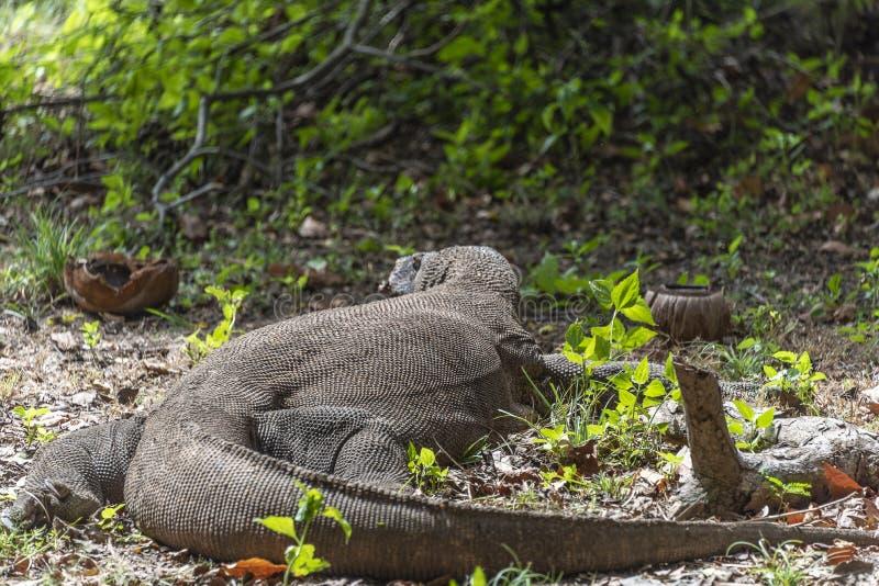 Дикая орхидея в индонезийских джунглях Ящерица дракона Komodo Эндемичный дикий хищник Охотиться хладнокровный агрессивный дракон  стоковое изображение rf