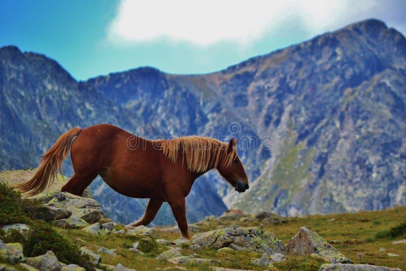Дикая лошадь в горах Пиренеи в Андорре стоковое фото