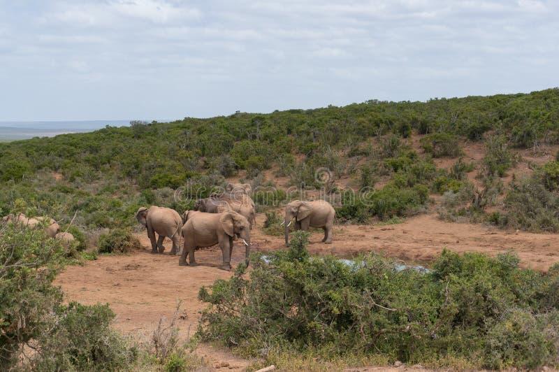 Дикая питьевая вода слонов от waterhole в африканской глуши стоковые изображения