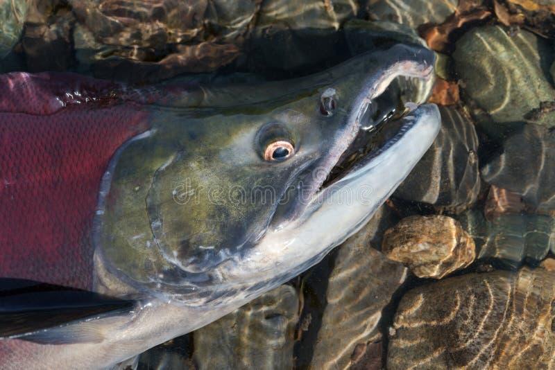 Дикая рыба из красного лосося Сокей Салмон Онкоринчус нерка, плавающая в мелководье реки Тихий лосось красного цвета стоковая фотография rf