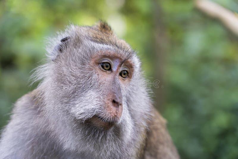 Дикая семья обезьяны на священном лесе обезьяны в Ubud, острове Бали, Индонезии стоковая фотография rf
