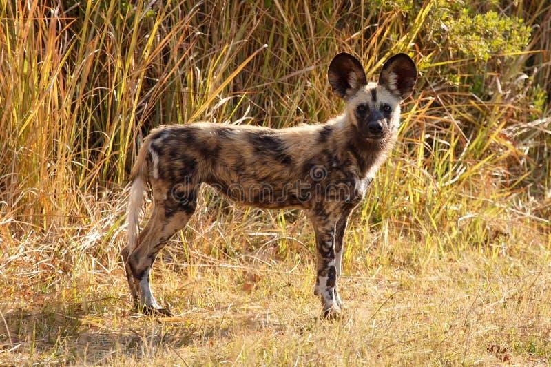 Дикая собака - перепад Okavango - Moremi n P стоковые фотографии rf