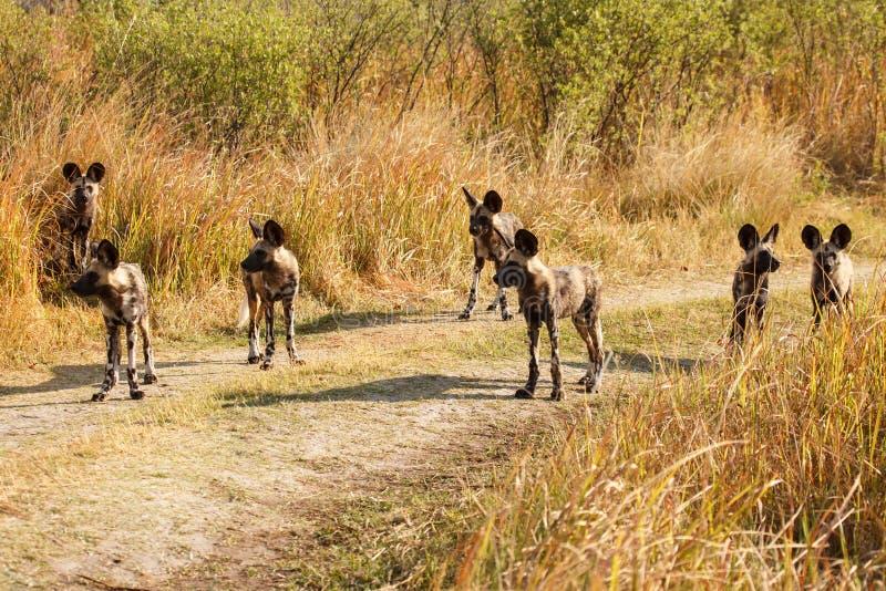 Дикая собака - перепад Okavango - Moremi n P стоковая фотография rf