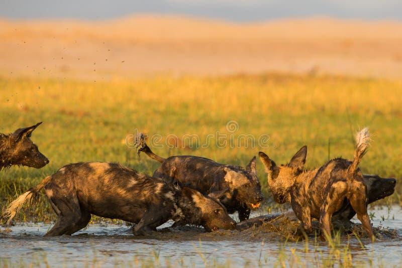 Дикая собака & x28; Pictus& x29 Lycaon; скакать в воду стоковые фото