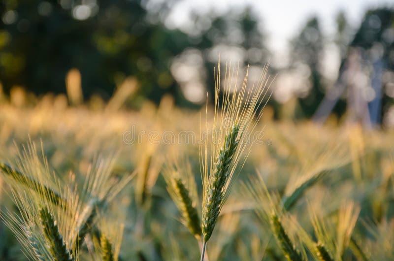 Дикая трава с колосками ровно отбрасывая в ветре, заводах лета Зеленая трава с золотыми и пушистыми ушами, природой Колоски стоковое фото rf