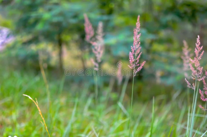 Дикая трава с колосками ровно отбрасывая в ветре стоковые фотографии rf