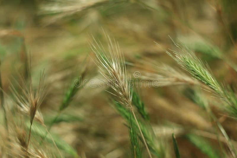 Дикая трава с колосками ровно отбрасывая в ветре, заводах ячменя стены Зеленая трава с золотыми и пушистыми ушами, природой стоковая фотография