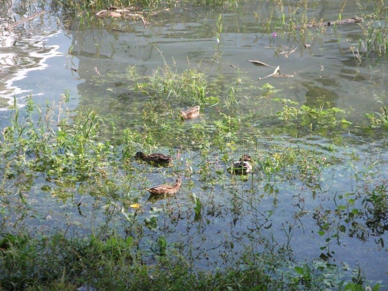 Дикая утка в болоте стоковые изображения rf