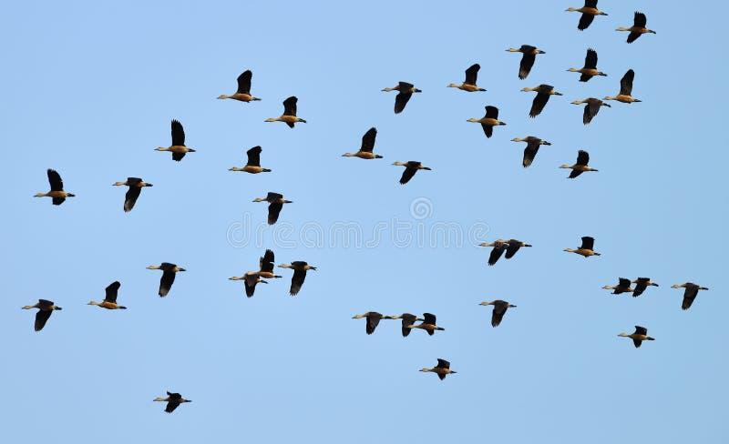Дикая утка летания стоковое фото rf