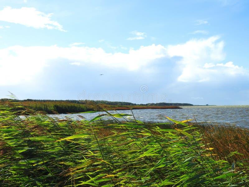 Дикая утка над вертелом Curonian, Литвой стоковые изображения rf
