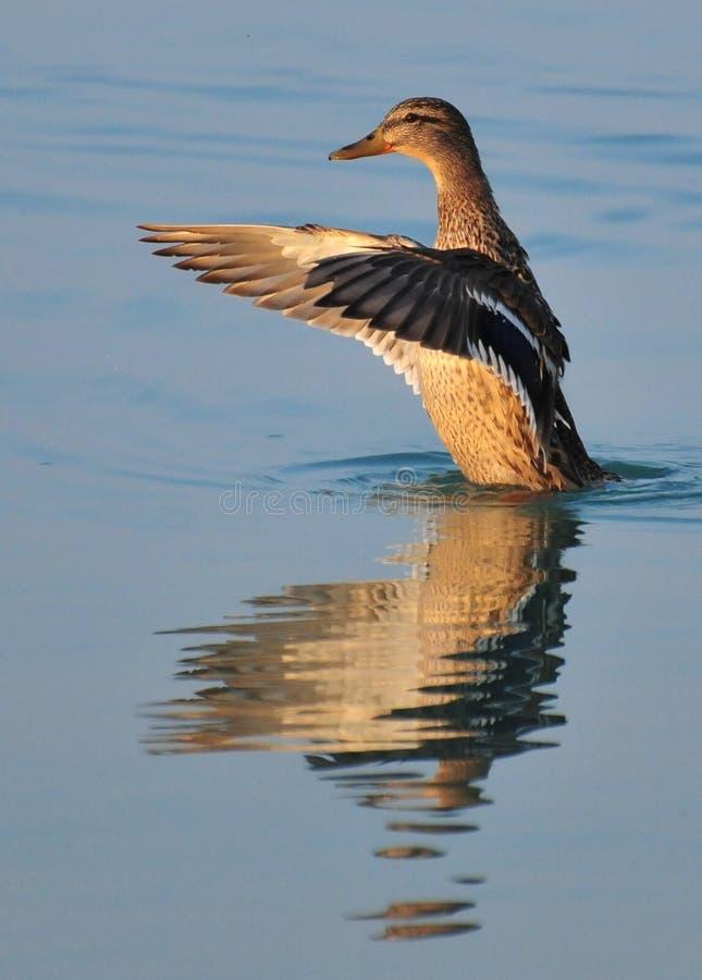 Дикая утка отразила в воде озера Balaton пока приветствующ кто-нибудь стоковое фото