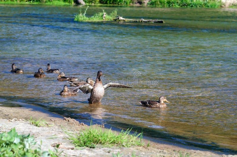 Дикая утка плавает распространяющ свои крыла в реке стоковая фотография