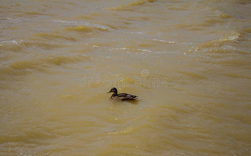 Дикая утка плавает вдоль волн реки Справочная информация стоковое фото rf