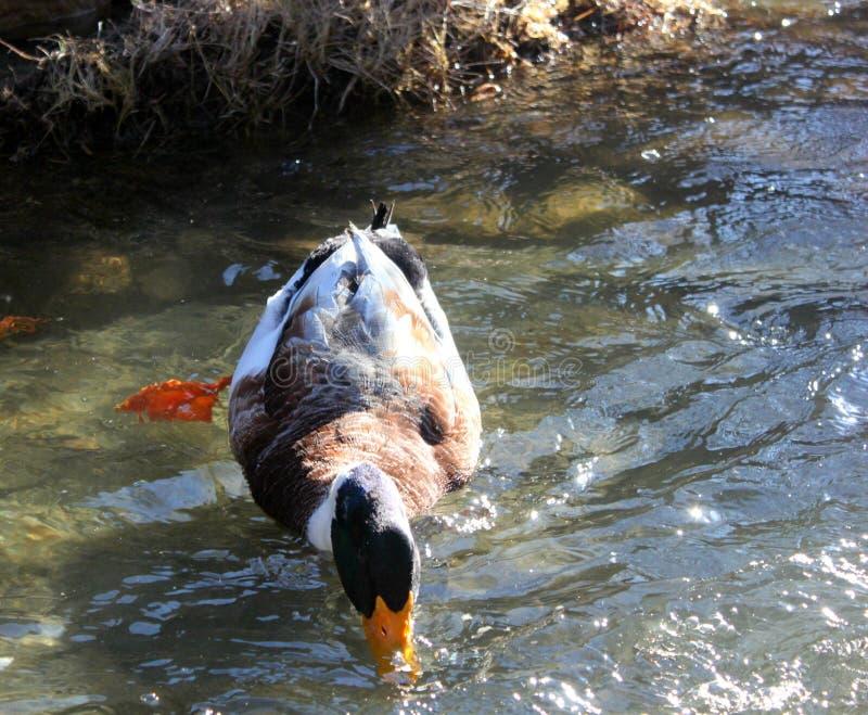 Дикая утка улавливает еду от воды стоковое изображение rf