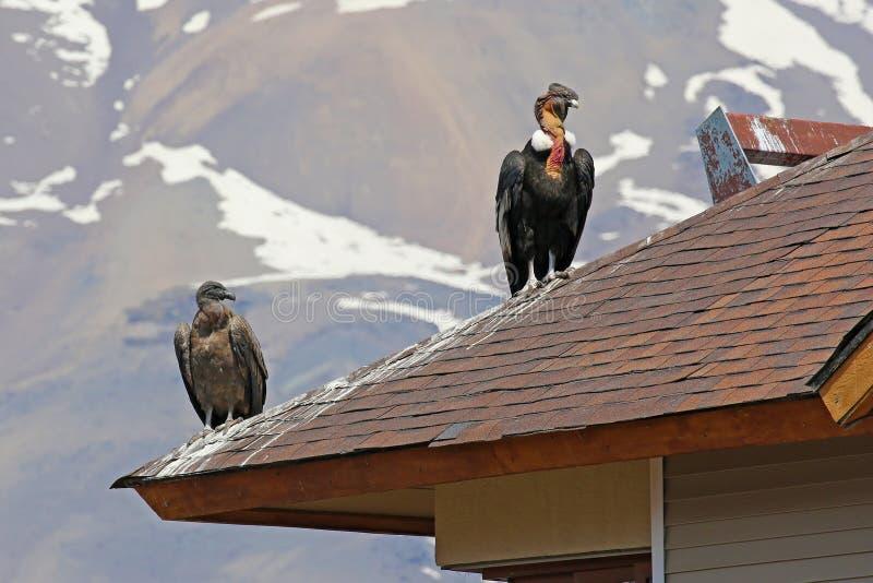 Дикие Андские кондоры садить на насест на крыше, чилиец Анды стоковое фото