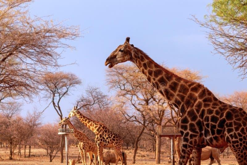 Дикие афроамериканские животные Несколько намибийских жирафов в саванне африканского происхождения стоковое фото