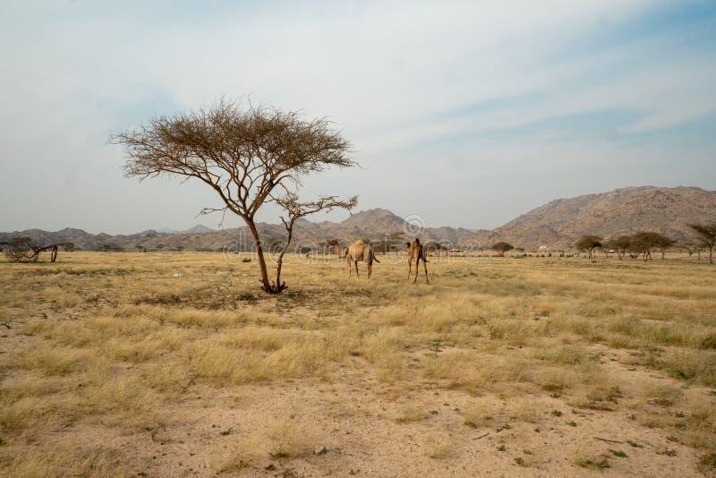 Дикие верблюды на злаковике в регионе Taif, Саудовской Аравии стоковые фотографии rf
