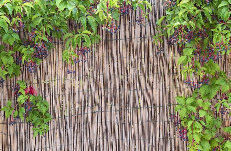 Дикие виноградины и загородка соломы стоковое изображение