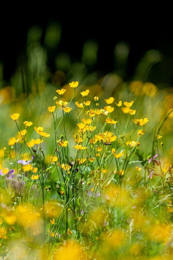 Дикие горные цветы в цветущем Ранункуле-монтанусе в европейских Альпах стоковое фото