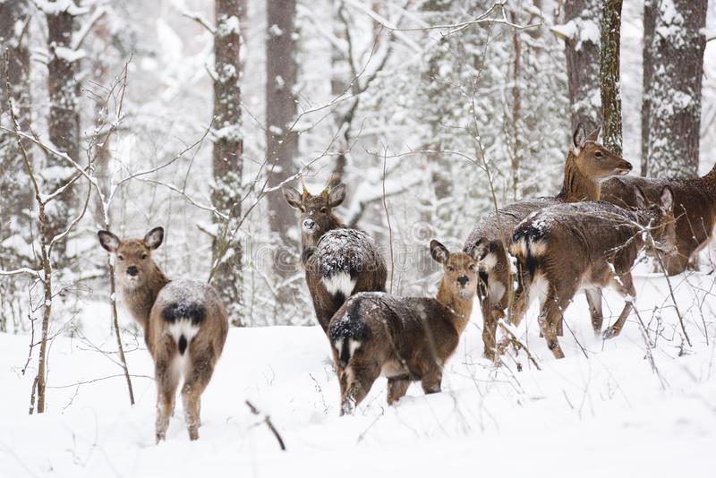 Дикие животные в их естественной среде обитания Запятнанная семья оленей Cervus в глубоком снеге в лесе зимы стоковое изображение