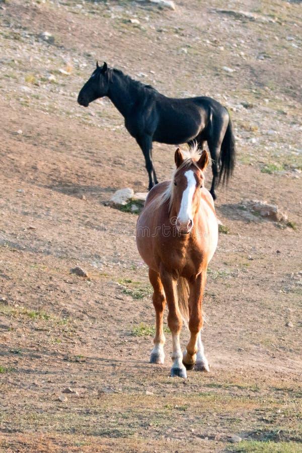Дикие лошади - жеребец залива с пламенем на головном и черном жеребце на заднем плане в ряде дикой лошади гор Pryor в Mont стоковое изображение rf