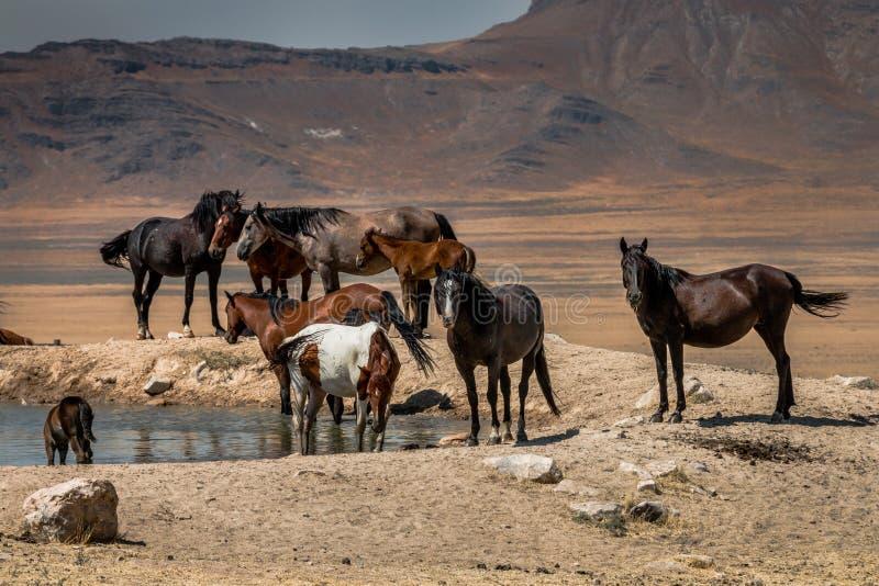 Дикие лошади на плато пустыни стоковые фото